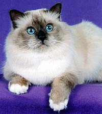 Бирманская кошка блю-пойнт