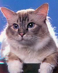 Бирманская кошка табби-пойнт