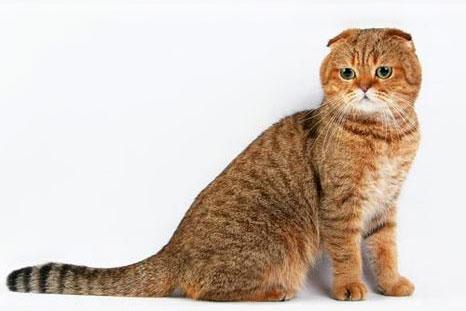 Скоттиш-фолд (шотландская вислоухая кошка) и Скоттиш-страйт
