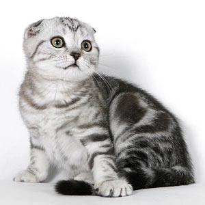 Фото кошек породы шотландская вислоухая.