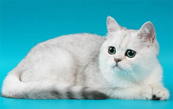 кошки скоттиш фолд фото, кошки породы скоттиш фолд фото