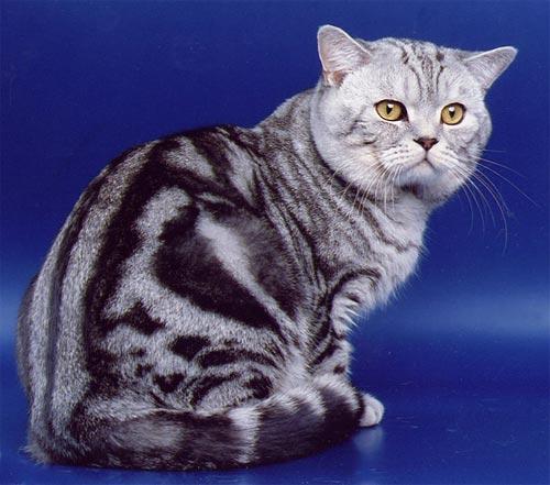 Какие будут окрасы котят? Помощь в расчете