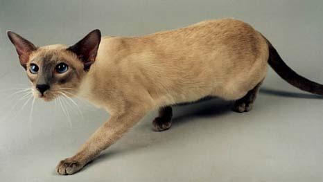 сиамская порода кошек фото. сиамские кошки сиамская порода кошек фото.