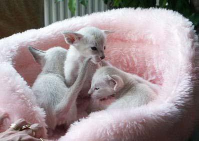 Сиамская кошка способна полностью покорить человека именно своей