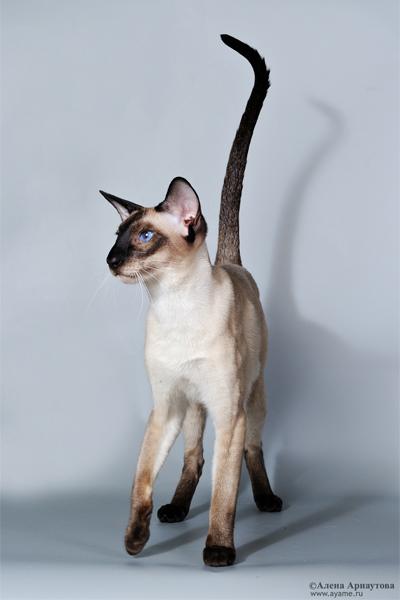 достали реально! некоторые личности при виде фото тайской кошки пишут,что это сиам! вот зачем писать...