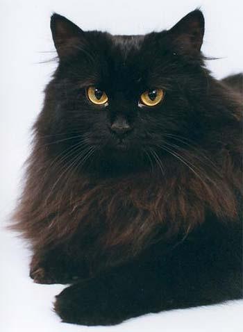 ...кошка черного окраса, Россити Княжна,моя новая...