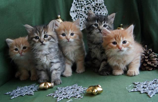 Коты сибирские и их метисы