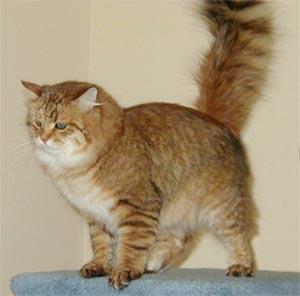 (Миронова О.С. Сибирская кошка: Стандарт МКЭФ.
