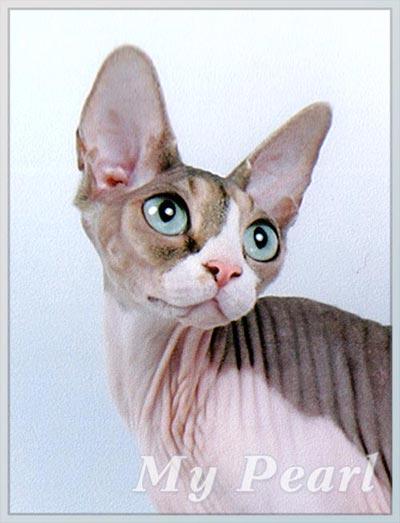 Экзотическая порода кошек сфинкс - у кого-нибудь есть.