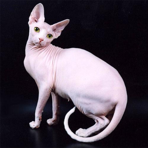 Московский питомник сиамских и ориентальных кошек DIKAMA