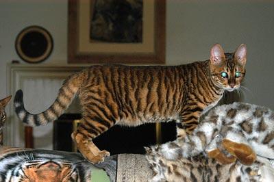 тойгер кошки фото, тойгер фото