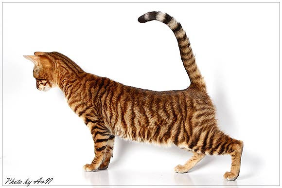 ТОП-10 пород кошек с окрасом табби (17 фото )