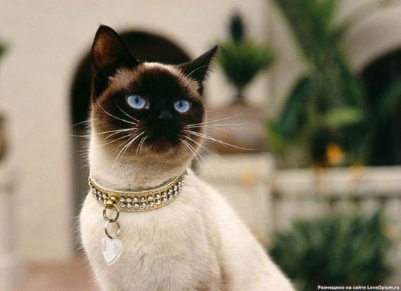 Тайская кошка о породе породы кошек