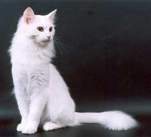 Кошки и кошечки.  Ангорская кошка.