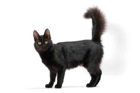 Кот ангора черный