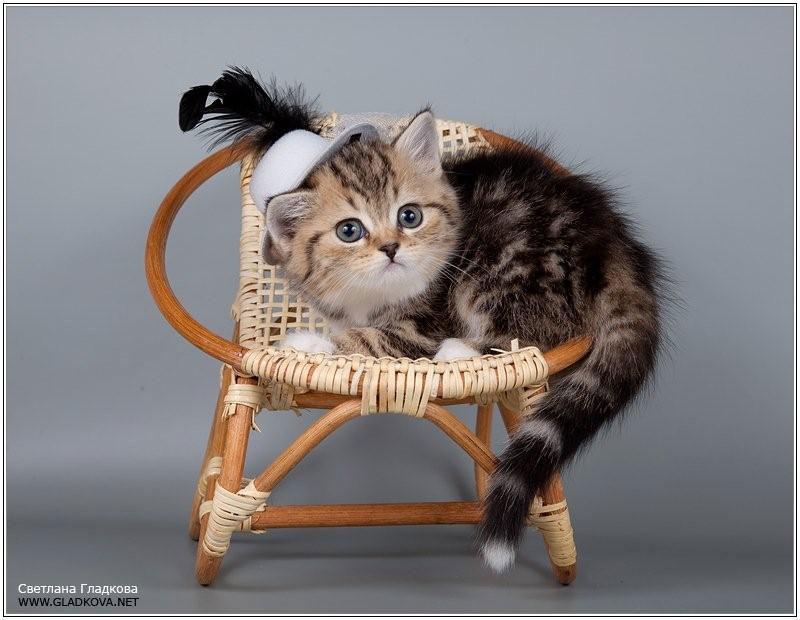 Адаптация британских кошек и котят в новом доме (памятка владельцу ... | 620x800