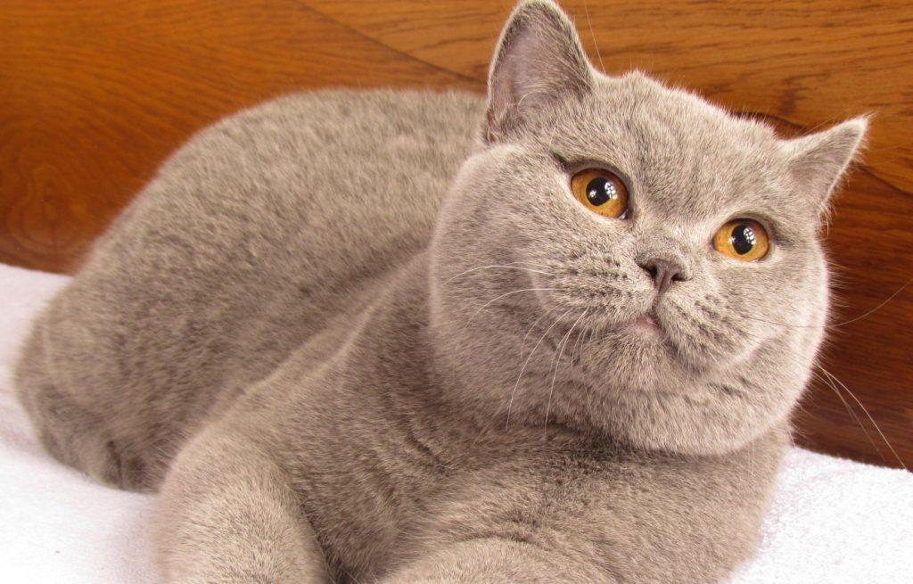 Картинка британцы коты