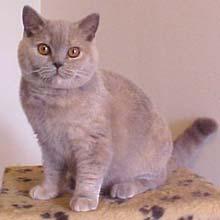 Табби окрас британских кошек тикированный пятнистый