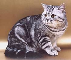 Какие признаки у британской породы кошек? | 200x234