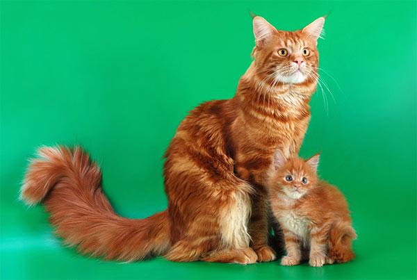 мейн кун с другими кошками