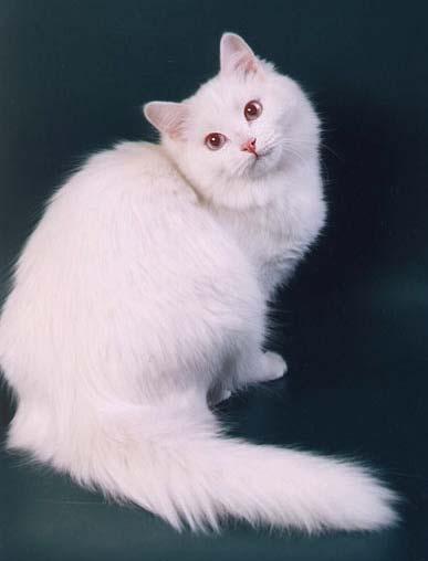 сацебели только картинки сибирских белых кошек однотонных рисунок
