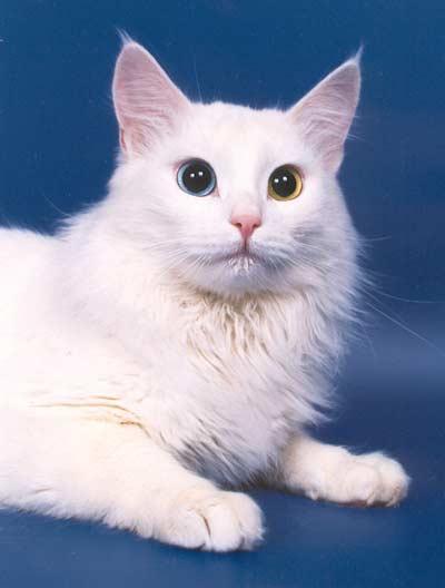 кот турецкая ангора фото белый